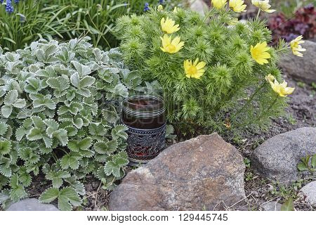 silverweed and spring adonis and glass holder with glass of tea