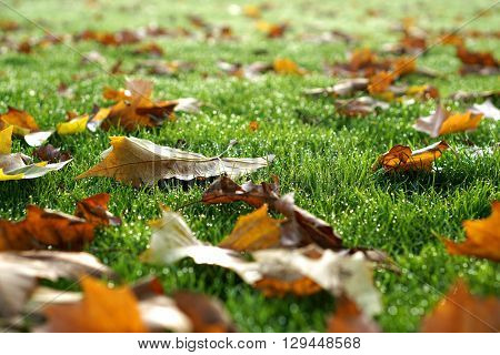 Autumn Leaves on Dewy Grass, Selective Focus