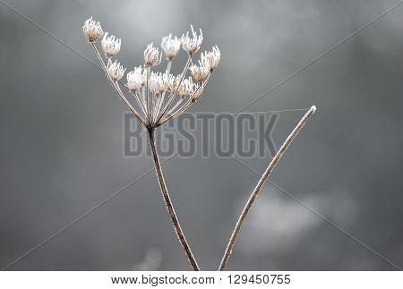 seed head of hemlock plant in winter frost
