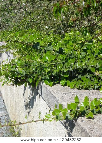 Green Ivy Leaves On An Old Wall