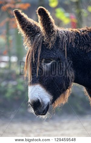 A Poitou Donkey with a blurry background