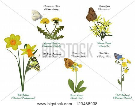 It is illustration of butterfly set - On yellow flowers