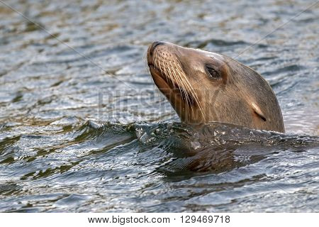 Close up of a Sea lion in the water