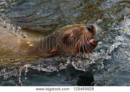 A close up of a sea lion in the water