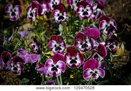 Botanic gardening plant nature image: group of three bright violet pansy, pansies , viola tricolor, Viola cornuta, closeup among green plants over blurred background.