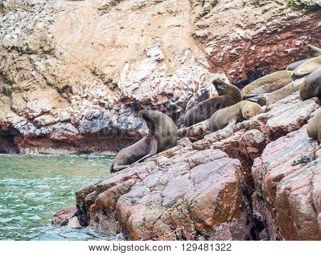 Peruvian sea lions seen in the Ballestas islands in the Paracas National Park Peru