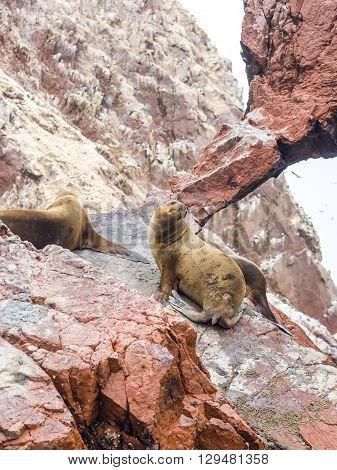 Peruvian Sea Lions