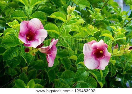 A group of tropical pink trumpet flowers in bloom on bush surrounded by green leaves.