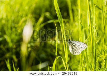 Butterfly (green-veined White, Pieris Napi) On Grass.
