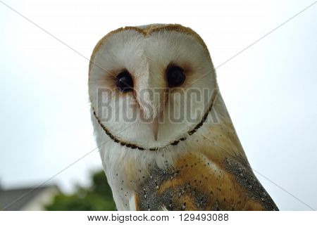 Close up of a Barn Owl by day
