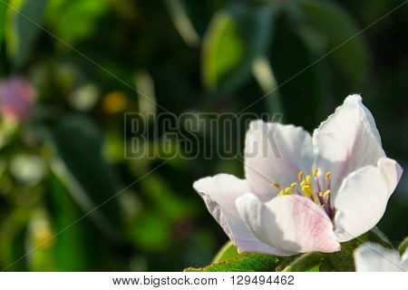 Quince flower blooming around green leaves in sunlight
