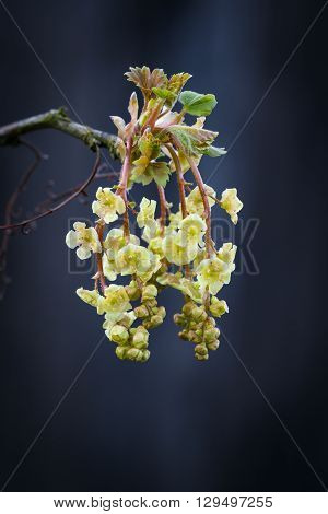 Flowering currant twig. The currant Bush in early spring.