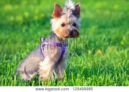 Beautiful Yorkshire Terrier Dog sitting in grass on lawn
