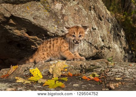 Female Cougar Kitten (Puma concolor) Cries Out from Ledge - captive animal