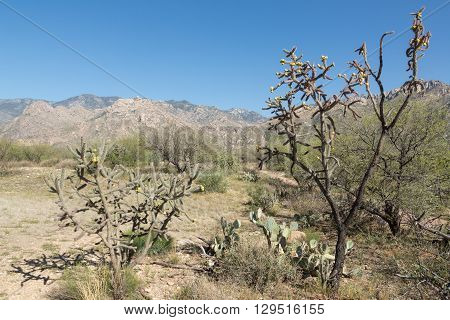 Cholla cacti in Arizona's Catalina State Park