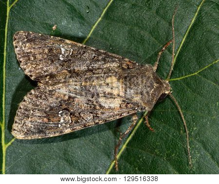 Cabbage moth moth (Mamestra brassicae). British insect in the family Noctuidae the largest British family moths in the order Lepidoptera