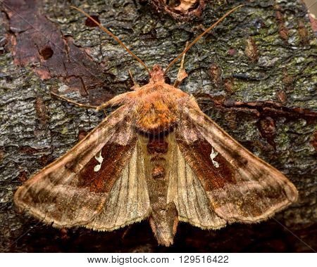 Plain golden Y moth (Autographa jota) wings open. British insect in the family Noctuidae the largest British family moths in the order Lepidoptera
