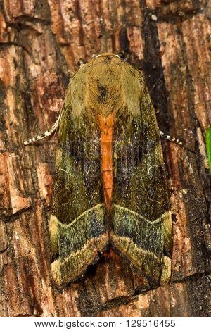Broad-bordered yellow underwing moth (Noctua fimbriata). British insect in the family Noctuidae the largest British family moths in the order Lepidoptera