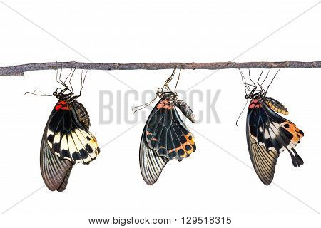 Isolated male and female great mormon butterfly with clipping path