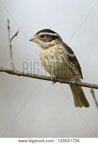 Female Rose-breasted Grosbeak Perched On A Branch