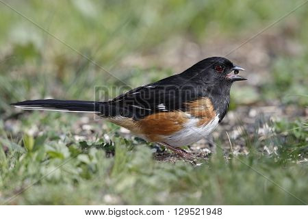 Male Eastern Towhee Eating A Seed