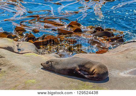 New Zealand fur seal (Arctocephalus Forsteri) at wildlife sanctuary sunbathing on a rock poster