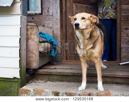 The dog is on the verge of the village of the old house