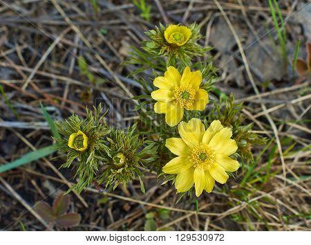 Spring yellow flowers of Adonis (Adonis vernalis).