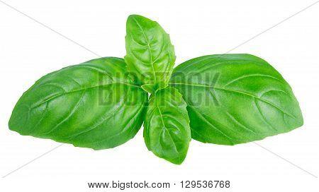 fresh green basil top leaves isolated on white background closeup. Italian seasoning aromatic herb basil