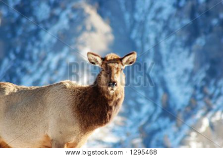 Female Elk Staring