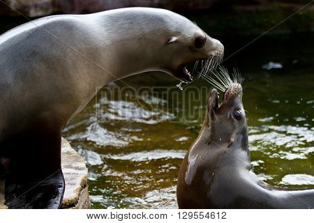 Pinniped- Seal