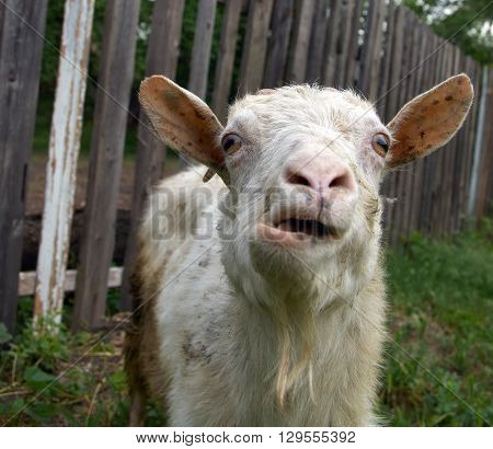 Bleating white goat with goatee and funny ears against the old wooden fence