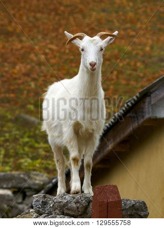 White goat standing on the stone next to village house roof