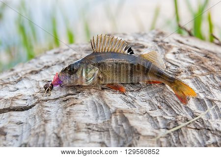 Perch Fish Just Taken From The Water.