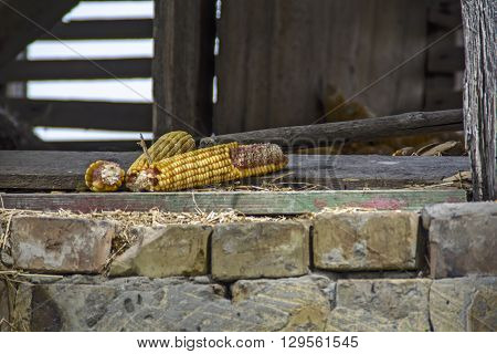 Several corn cob standing in the doorway of the old village barn.