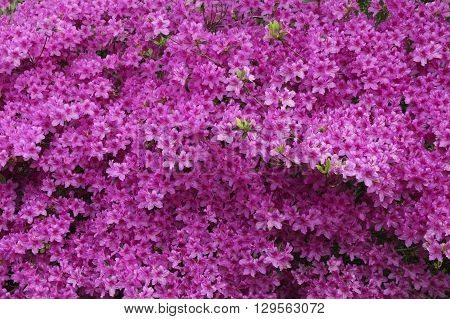 Beautiful evergreen  pink azalea flowers in the outdoor
