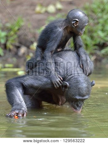 Bonobo standing on her legs in water with a cub on a back and drinks water.  The Bonobo ( Pan paniscus). Democratic Republic of Congo. Africa