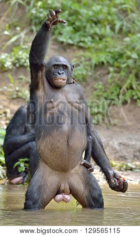 Bonobo ( Pan Paniscus) Standing On Her Legs With A Cub On A Back And Hand Up