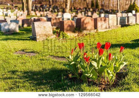 Headstones In Montreal Cemetary At Sunset, With Red Tulips