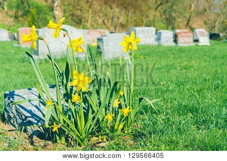 Tombstones In Montreal Cemetary With Yellow Jonquils In Springtime (vintage Filter)