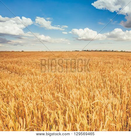 Yellow Wheat Ears Field On Under Blue Sky Background. Rich Harvest Wheat Field. Harvest Time.