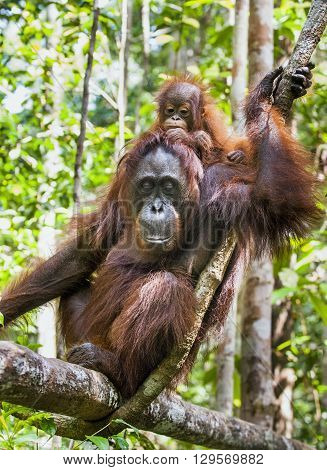 Mother And Cub Orangutan (pongo Pygmaeus). The Close Up Portrait