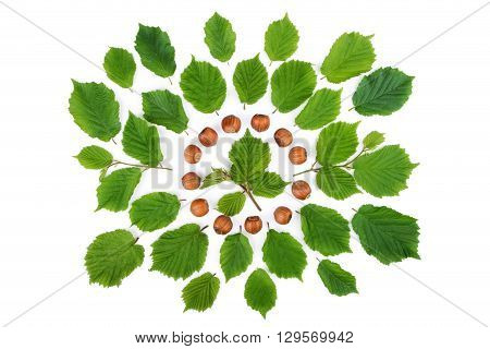 Green leaves with filbert nuts arranged in round shape on white. Top view.