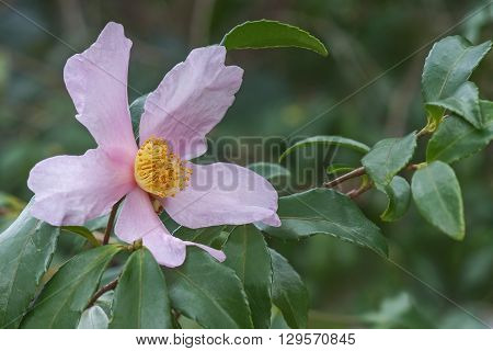 Ashton's Pride hybrid camellia (Camellia x hybrid Ashton's Pride). Hybrid of Camellia sasanqua Santozaki and Camellia oleifera Plain Jane. Image of single flower