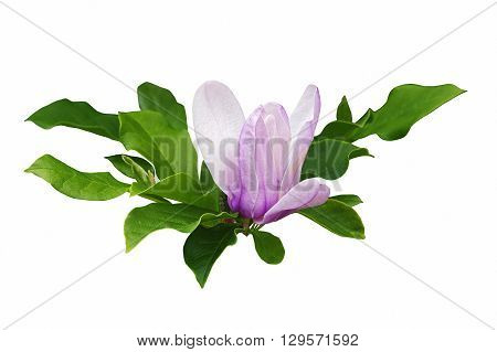 Saucer magnolia (Magnolia x soulangeana). Hybrid between Magnolia denudata and Magnolia liliiflora. Called Chinese Magnolia and Tulip Magnolia also. Image of flower and leaves isolated on white background