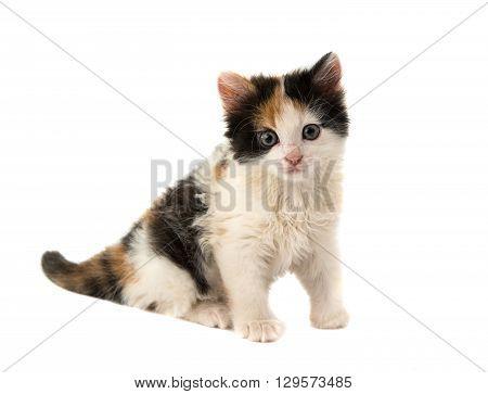 little kitten on white  pretty, puss, background