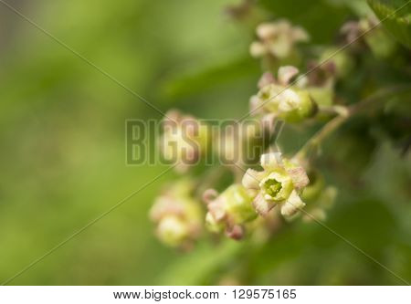 Bright spring flower of the currant on washed away green background