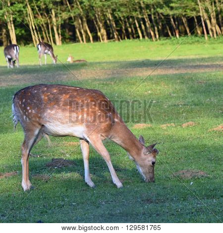 Fallow deer on the meadow. Fallow - (Dama dama ) Beautiful natural colored background with wild animals.Nature.