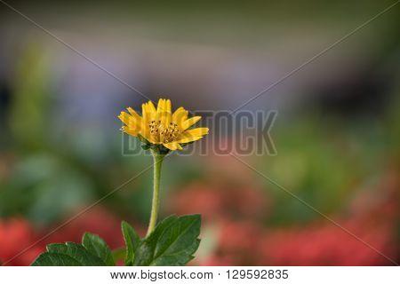Creeping daisy  Wedelia trilobata Singapore daisy  Creeping ox-eye