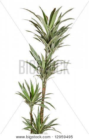 Dracaena plant poster